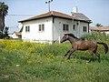 Uncaged horse (147396462).jpg