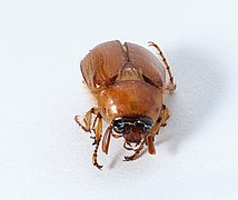 Unidentified coleoptera mexico2020.jpg