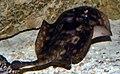 Urobatis jamaicensis 5zz.jpg