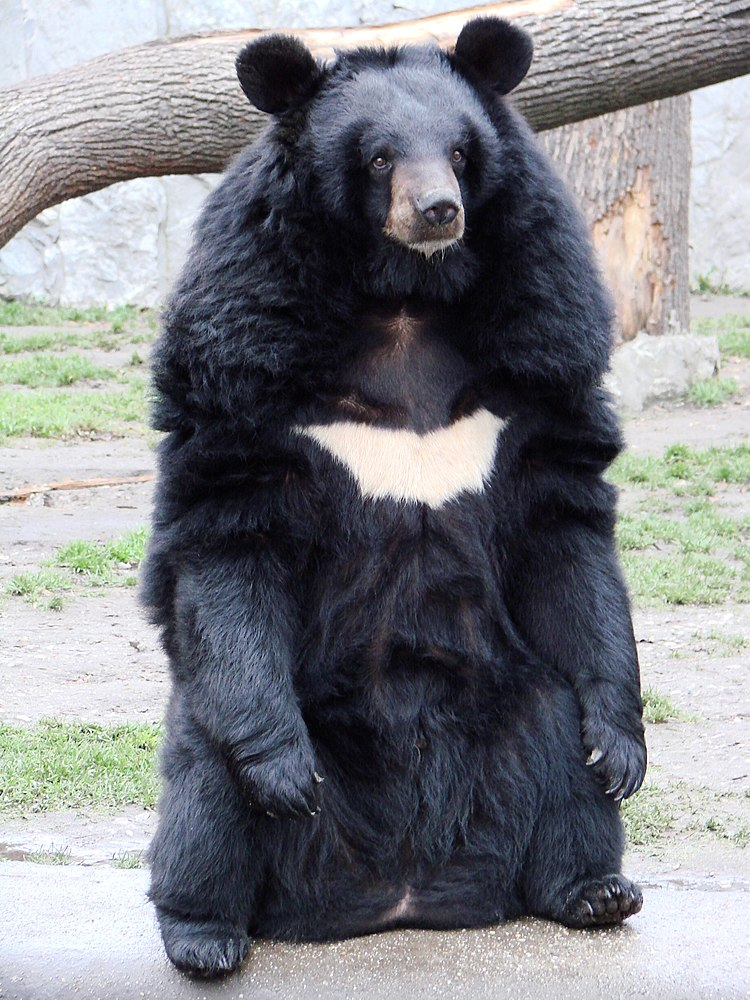The average litter size of a Asian black bear is 2
