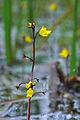 UtriculariaVulgarisFlowering.jpg