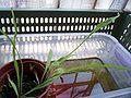 Utricularia longifolia leaves.jpg