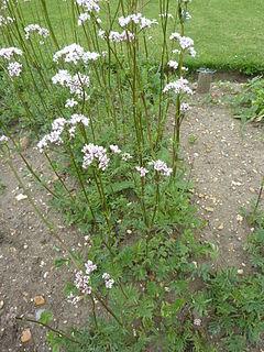 Valeriana officinalis (Valerianaceae) plant