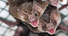 Vampire bat allogrooming.jpg