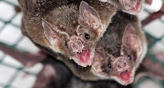 Social grooming - Image: Vampire bat allogrooming