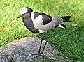 Vanellus armatus qtl1.jpg
