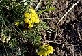 Variety of Desert Parsley (Lomatium), Greater Sage Grouse Lek Count Near Steens Mountain, April 2016 (26515394094).jpg