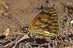Veined tip (Colotis vesta hanningtoni) underside.jpg