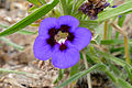 Veld Violet (Aptosimum lineare) (16242559484).jpg