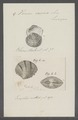 Venus casina - - Print - Iconographia Zoologica - Special Collections University of Amsterdam - UBAINV0274 077 12 0010.tif