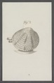 Venus spec. - - Print - Iconographia Zoologica - Special Collections University of Amsterdam - UBAINV0274 077 11 0019.tif