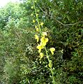 Verbascum sp. - Flickr - gailhampshire (4).jpg