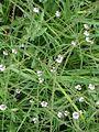 Verbena officinalis2pl.jpg