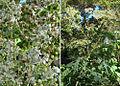 Verbesina turbacensis, known as Tola Blanca. (9212649250).jpg