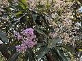 Vernonia arborea 67.jpg