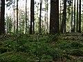 Very jung spruce in the Taunus.jpg