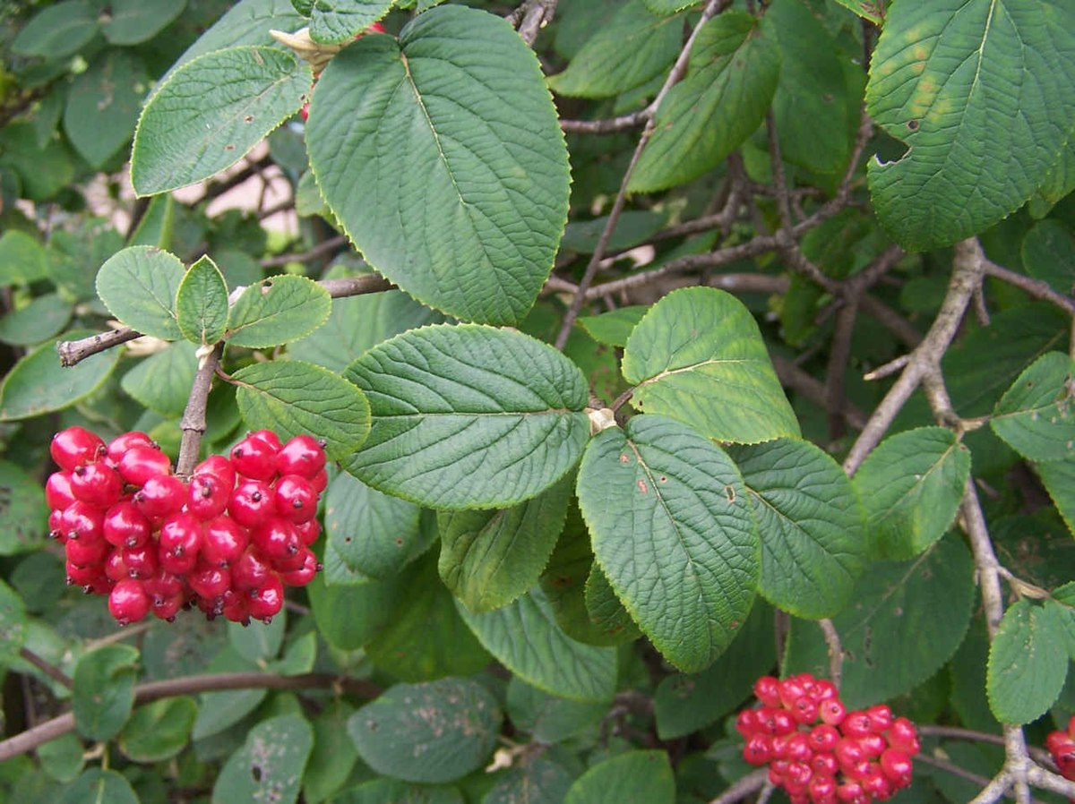 приметой считалось растения и кустарники средней полосы россии фото отзыв поможет