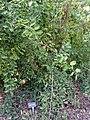 Viburnum tiliifolium - J. C. Raulston Arboretum - DSC06254.JPG