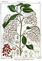 Viburnum wightianum Rungiah.jpg