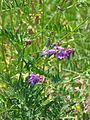 Vicia cracca-Salzburg, Flachgau, Eugendorf-bE-HdN-1109a.jpg