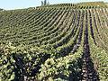 Vigne Pinot noir (Chatillon sur Marne) Cl.J.Weber03 (23049577364).jpg