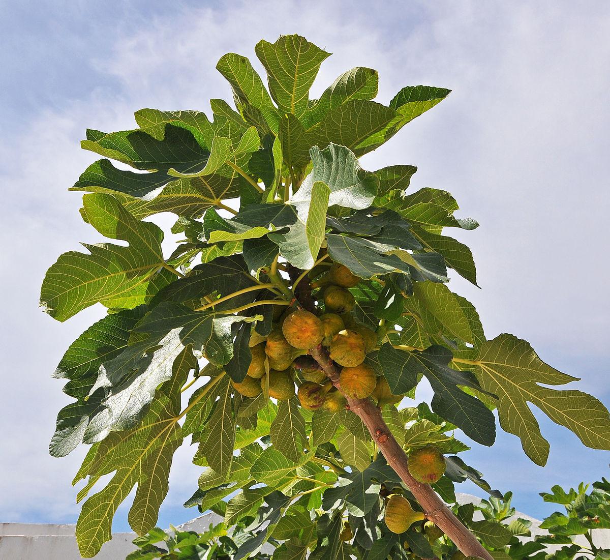 фото инжир дерева