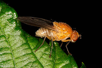 Embryology - Drosophila melanogaster
