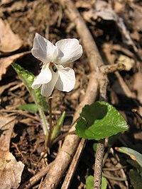 Viola alba 1.jpg