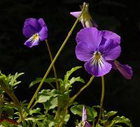 Viola cornuta A.jpg