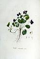 Viola odorata — Flora Batava — Volume v6.jpg