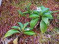Viola stipularis-La Soufrière-Guadeloupe 1.JPG