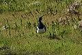 Vipe (Vanellus vanellus) (5672726265).jpg
