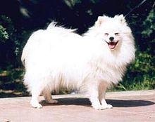 Anjing rubah kecil itali nama lain anjing quirinal anjing spits
