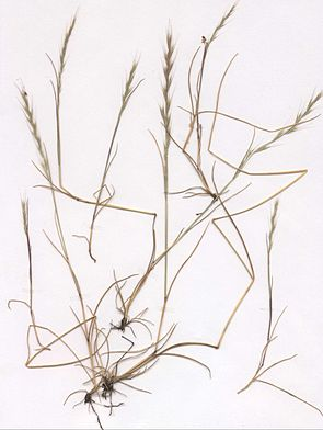 Mäuseschwanz-Federschwingel (Vulpia myuros) (Herbarbeleg)