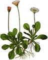 WWB-0013-001-Bellis perennis-crop.png