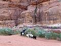Wadi Rum-Chèvres-Genêts blancs (2).jpg