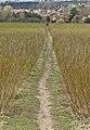 Walk through the willows - geograph.org.uk - 721905.jpg