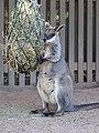 Wallabia bicolor 2014-09-19.JPG