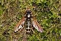 Wasp mimic hoverfly (Caliprobola speciosa), Forêt de Soignes, Brussels (30586207274).jpg