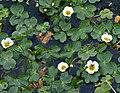 Water Crowfoot in the Castle Loch Burn - geograph.org.uk - 812522.jpg