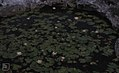 Water lilies in solution hole. Nassau (38870085221).jpg