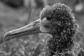 Waved albatross chick (4228990070).jpg