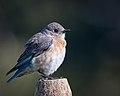 Western Bluebird (f) (40002504292).jpg