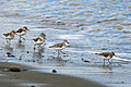 Western Sandpipers, Dungeness NWR - 3346922185.jpg