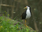 White-breasted Waterhen 4055.jpg