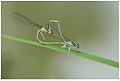 White-legged Damselfly (Platycnemis pennipes) mating.jpg