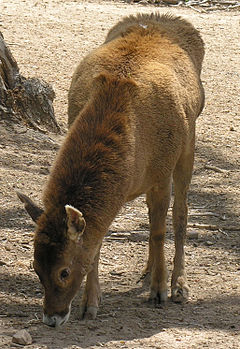 White-lipped deer at the Denver Zoo in 2006.jpg