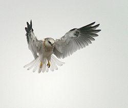 White-tailed Kite - juvenile.jpg