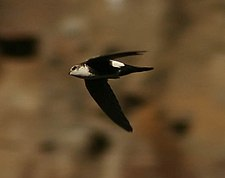 White-throated Swift (Aeronautes saxatalis) in flight.jpg