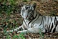 White tiger at Vandalur Zoo.jpg